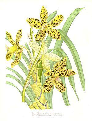 Grammatophyllum speciosum - Illustration