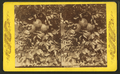 Grape fruit, from Robert N. Dennis collection of stereoscopic views.png