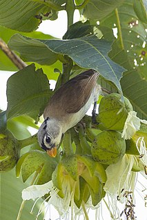 Grey-headed parrotbill species of bird