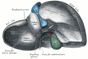 Lobes of liver - Posterior and inferior surfaces of the liver. (Left lobe labeled at upper left.)