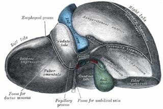 Lobes of liver
