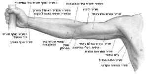 צידה הקדמי של היד הימנית