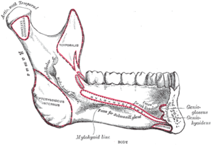 Sublingual space - Diagram of medial surface of the mandible, showing the slanting attachment of mylohyoid (the mylohyoid line). This arrangement means that the apices of posterior teeth are more likely to be below the level of mylohyoid, so a periapical abscess associated with posterior teeth is more likely to spread into the submandibular space.