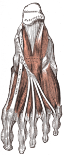 Quadratus plantae muscle Muscles of the sole of the foot