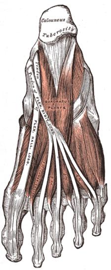 musculuss quadratus plantae