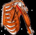 Gray — musculus coracobrachialis.png