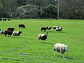 Grazing sheep at Torrisdale Castle. - geograph.org.uk - 553193.jpg