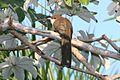 Great Lizard-cuckoo (Coccyzus merlini).jpg