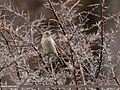 Great Rosefinch (Carpodacus rubicilla) (33880309564).jpg