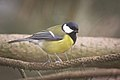 Great tit (38617769715).jpg