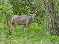 Greater Kudu (Tragelaphus strepsiceros) (11902662933).jpg
