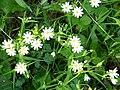 Greater stitchwort (Stellaria holostea) - geograph.org.uk - 403658.jpg