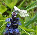 Green-veined White. Artogeia napi. - Flickr - gailhampshire.jpg