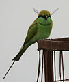 Green Bee-eater (Merops orientalis) with a dragonfly W IMG 2552.jpg