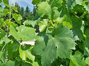 Français : Feuilles de Vignes - Grenache Blanc