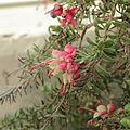 Grevillea lanigera-IMG 0189.jpg