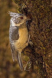 Grey-crested Tit - Chopta, Uttarakhand, India.jpg