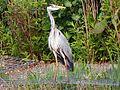 Grey Heron (Ardea cinerea) (5789300291).jpg