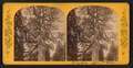 Grizzly Giant, Upper section, from Robert N. Dennis collection of stereoscopic views.png
