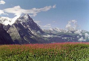 Grosse Scheidegg, polygonum.JPG