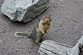 Ground Squirrel in Two Medicine.jpg