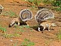 Ground Squirrels (Xerus inauris) (7011271439).jpg