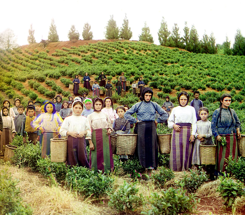 Group of workers harvesting tea Chakva Prokudin-Gorsky