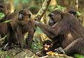Groupe de macaques maures.jpg