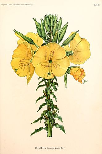 Hybrid (biology) - Oenothera lamarckiana is a permanent natural hybrid, studied intensively by the geneticist Hugo de Vries. Illustration by De Vries, 1913