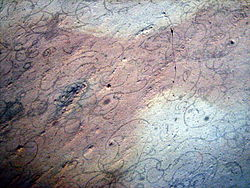 Traces fossiles de Grypania, le plus ancien (2,2 milliards d'années) des grands eucaryotes découverts. Plus qu'un organisme unicellulaire géant, il est aujourd'hui considéré comme - déjà - multicellulaire.