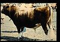Guernsey = 世界の牛 ガーンジー(雄) (35896553313).jpg