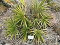 Guihaia argyrata - University of California Botanical Garden - DSC08994.JPG