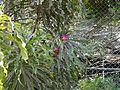 Gustavia superba (3528689770).jpg