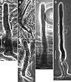 Gymnopus perforans transatlanticus (10.3897-mycokeys.18.10007) Figure 46.jpg