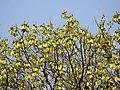 Gyrocarpus americanus04.jpg