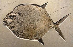 Gyrodus circularis, Late Late Jurassic, Tithonian Age, Solnhofen Lithographic Limestone, Solnhofen, Bavaria, Germany - Houston Museum of Natural Science - DSC01854.JPG