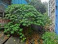 HK 北角 North Point 香花徑 Aroma Walk rain 02 tree Dec-2013.JPG