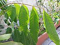 HK Mid-levels High Street clubhouse green leaves plant February 2019 SSG 49.jpg