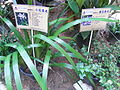 HK Sheung Wan Tung Wah Hospital Chinese plant Iris Speculatrix Aug-2012.JPG