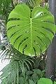 HK garden green plant palm leaves May 2019 IX2.jpg
