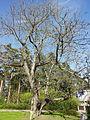 Hall pähklipuu 3.jpg