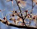 Hamamelis japonica - fleur2.jpg