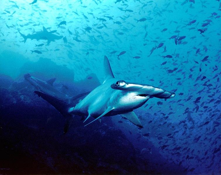 File:Hammerhead shark, Cocos Island, Costa Rica.jpg