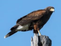 Harris Hawk.png