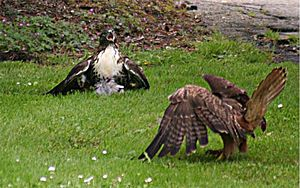 Two hawks are arguing over a kill