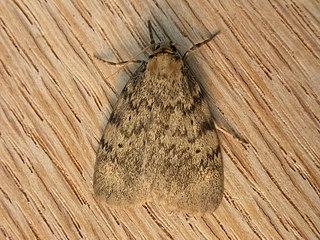 <i>Hectobrocha adoxa</i> species of insect