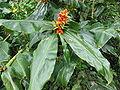 Hedychium gardnerianum (Fruits).jpg