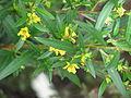 Heimia salicifolia (20904114238).jpg