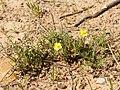 Helianthemum syriacum (plant).jpg