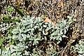 Helichrysum argyrophyllum 02.jpg